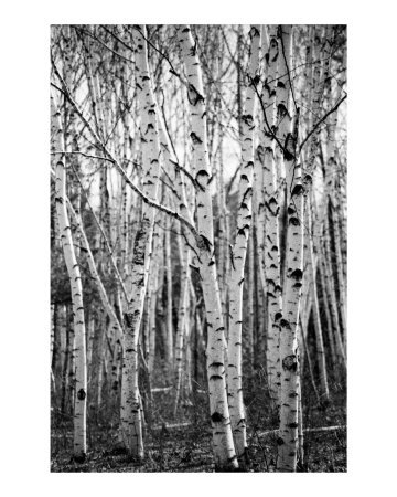 birchtrees1.jpg